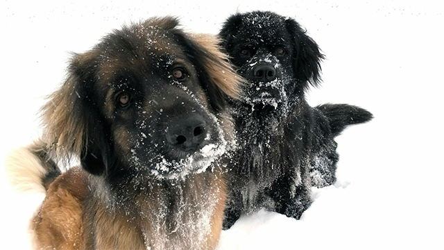 dogs in snow
